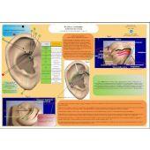 Scheda Auricoloterapia per tutti-Sciatica,lombalgia,ernia disco